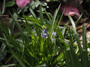 Spanish bluebell