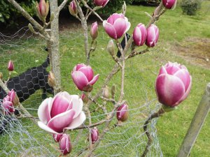 Magnolia 'Black Tulip' x Magnolia 'Pickard's Ruby'