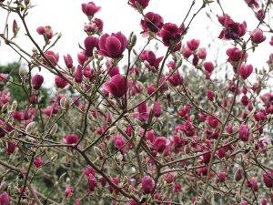 Magnolia 'Ian's Red'