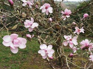 Magnolia sprengeri 'Diva'