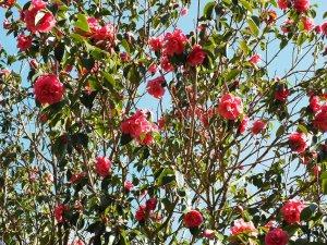 Camellia reticulata 'Buddha'