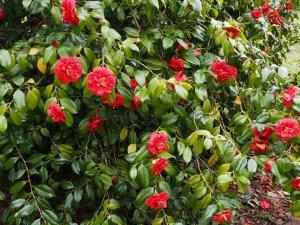 Camellia 'Emperor of Russia'