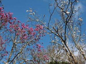 Magnolia 'Bishop Michael' together with Magnolia campbellii alba