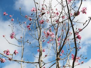 Magnolia 'Hawk'