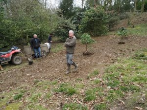 Placing out the large rhododendrons