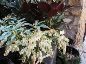 Pieris japonica 'Flaming Silver' alongside Rhododendron 'Wine and Roses'