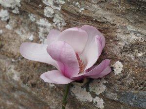 Magnolia 'Festirose'