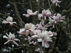 Magnolia mollicomata