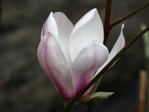 Magnolia 'Simple Pleasures'