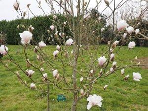 Magnolia 'Angelica'