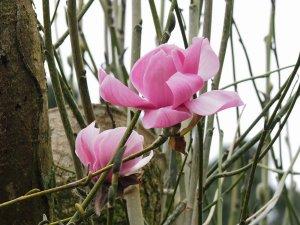 Magnolia sprengeri 'Gordon Trudgeon'