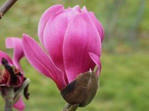 Magnolia sprengeri var. sprengeri