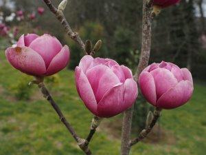 Magnolia 'Vulcan' x Magnolia 'Black Tulip'