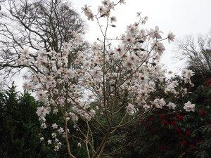 Magnolia mollicomata 'Burncoose Tennis Court'