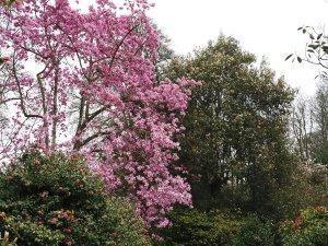 Magnolia 'Mr Julian' and Michelia doltsopa