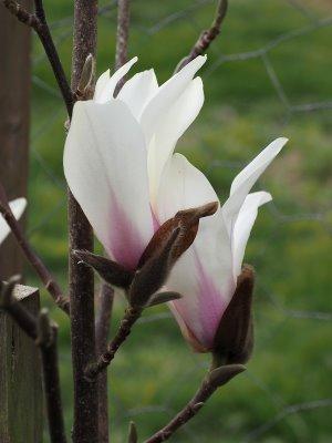 Magnolia cylindrica 'Bjuv'