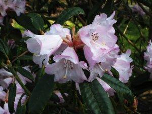 Rhododendron gingongshanicum