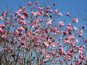 Magnolia dawsoniana 'Chyverton Red'