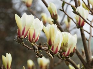 Magnolia 'Sunsation'