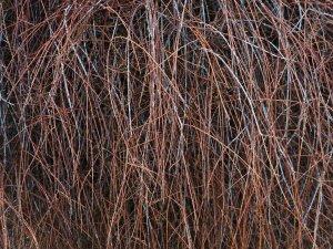 Prumnopitys taxifolia