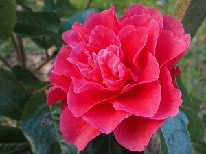 Camellia reticulata 'Larry Piet'