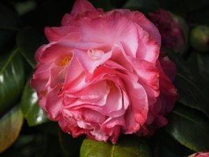 Camellia 'Nuccio's Jewel'