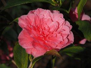 Camellia reticulata 'Valentine Day'