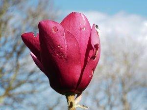 Magnolia 'Black Tulip' x Magnolia 'Caerhays Surprise'