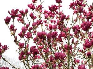 Magnolia 'Shirraz'