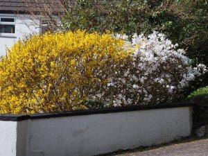 Magnolia stellata and Forsythia x intermedia 'Lynwood'