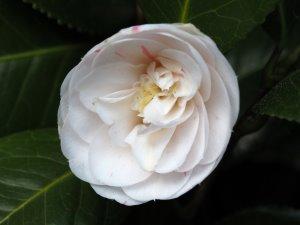 Camellia 'Duchess d'Orleans'