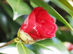 Camellia 'Imbricata'