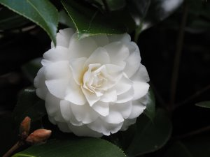 Camellia 'Mathotiana Alba'