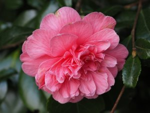 Camellia 'Preston's Rose'