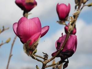 Magnolia 'Anne Leitner'