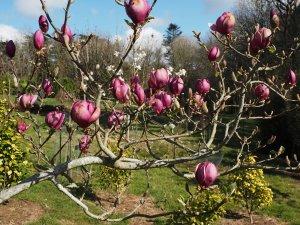 Magnolia 'Aphrodite'