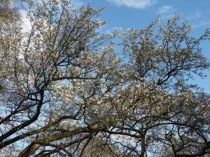 Magnolia kobus var. borealis