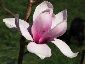 Magnolia 'Pickard's Ruby' x Magnolia 'JC Williams'