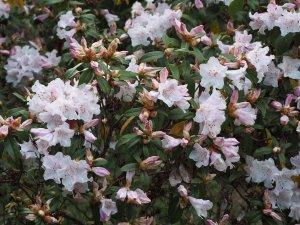 Rhododendron 'Cillicalyx'