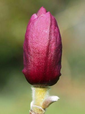 Magnolia 'A E Bold'