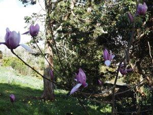 Magnolia 'Darkest Purple' x Magnolia campbellii 'Betty Jessel'