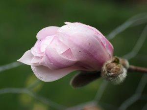 Magnolia x loebneri 'Champaign'