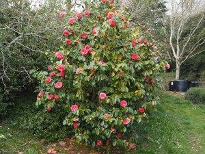 Camellia 'Drama Girl'
