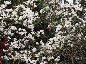 Magnolia cylindrica