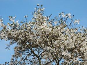 Magnolia 'Wada's Memory'