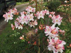Rhododendron 'Elsie Frye'