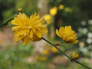 Kerrya japonica 'Pleniflora'