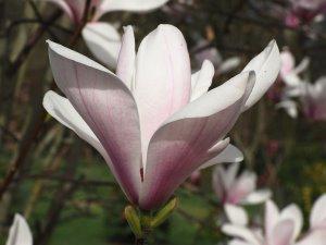 Magnolia 'Asian Artistry'