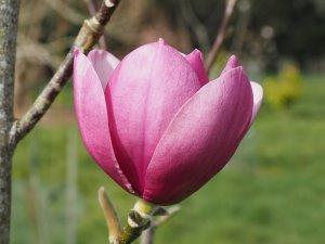 Magnolia 'Black Tulip' x Magnolia 'Serene'