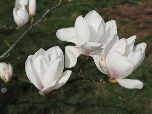Magnolia 'Crystal Chalice'